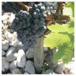 dufort-vivens-vigne